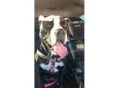 Adopt Nala a Black - with White American Pit Bull Terrier / American Pit Bull