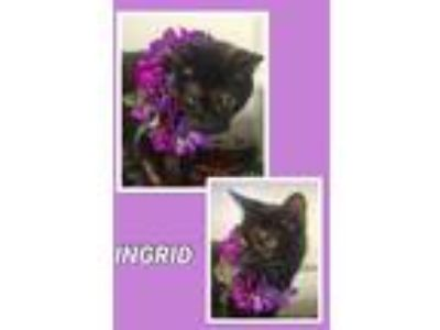 Adopt Ingrid a Domestic Short Hair