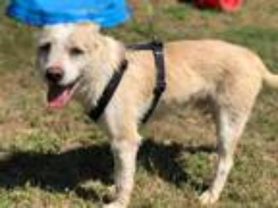 Adopt Rhett a Tan/Yellow/Fawn Wirehaired Fox Terrier / Mixed dog in East