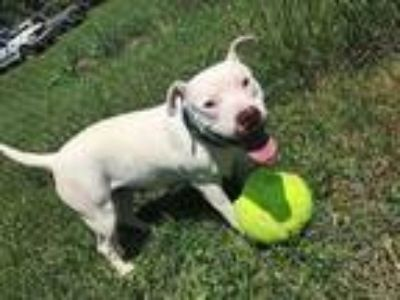 Adopt Emma a Pit Bull Terrier