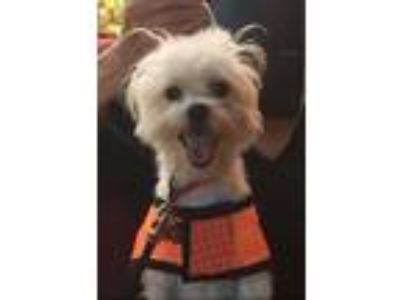 Adopt Chu Chu a White Toy Poodle / Mixed dog in Walnut Creek, CA (25540747)