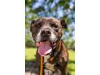 Adopt Rico a Brindle - with White Pit Bull Terrier / Mixed Breed (Medium) /