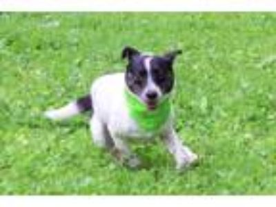 Adopt Ziggy a Black - with White Rat Terrier / Mixed dog in West Grove