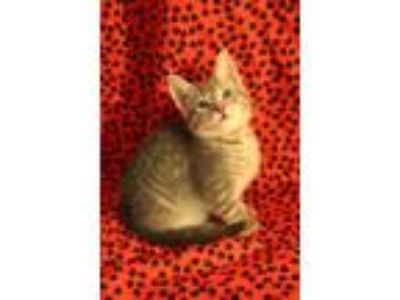 Adopt Smarties a Domestic Shorthair / Mixed cat in Westmont, IL (25566168)
