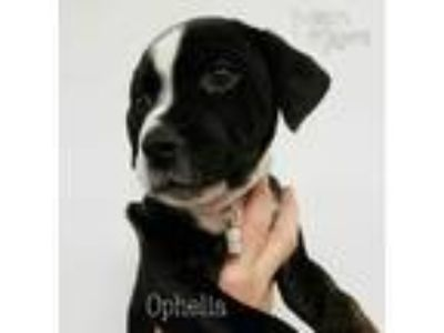 Adopt Ophelia a White - with Black Pit Bull Terrier / Mastiff dog in Mead