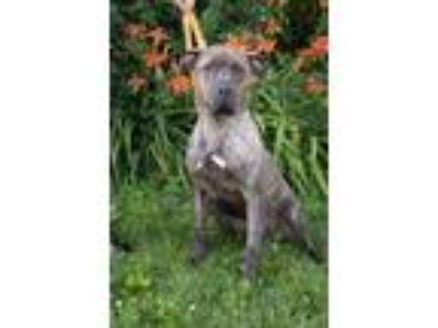 Adopt Oso a Great Dane, Mastiff