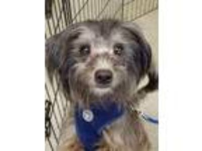 Adopt Luca a Schnauzer, Poodle