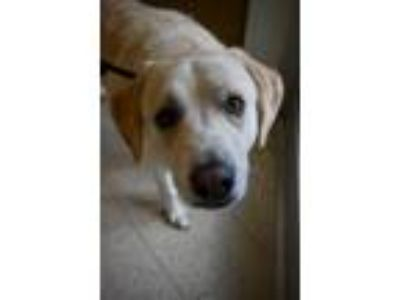 Adopt Lucy a Labrador Retriever, Great Pyrenees