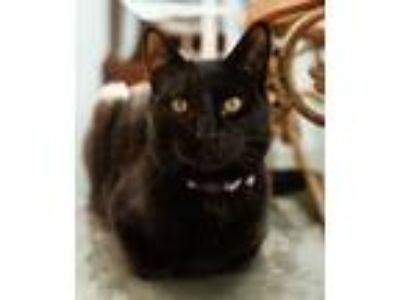 Adopt Marlon a Domestic Short Hair