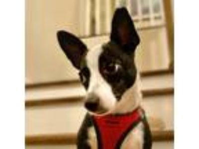 Adopt Booker (MD) a White - with Black Rat Terrier / Mixed dog in Poolesville