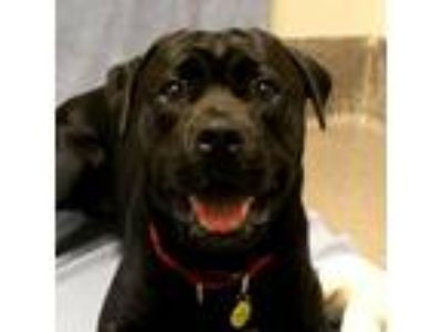 Adopt Apollo a Black American Pit Bull Terrier / Labrador Retriever / Mixed dog