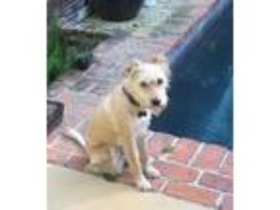 Adopt Selleck a White Terrier (Unknown Type, Small) / Mixed dog in Breaux
