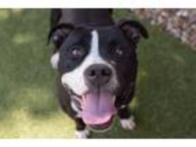 Adopt Troy a Pit Bull Terrier / American Staffordshire Terrier / Mixed dog in