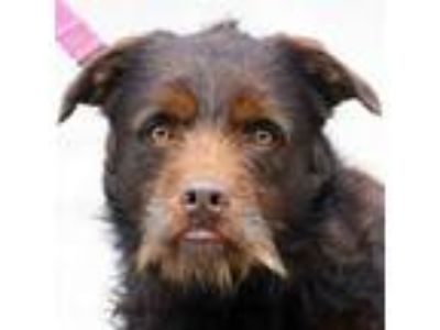Adopt Doug a Brown/Chocolate Standard Schnauzer / Airedale Terrier / Mixed dog