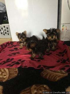Magnificient Yorkie Puppies Available