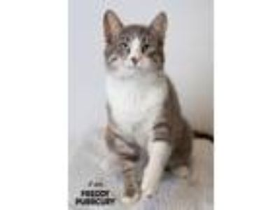 Adopt Freddie Purrcury a Domestic Shorthair / Mixed (short coat) cat in Boone