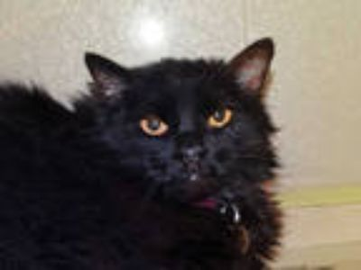 Adopt BABY a All Black Domestic Longhair / Mixed (long coat) cat in Denver