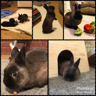 Meeko- 1 year old netherland dwarf bunny rehoming due to allergies