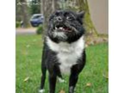 Adopt Lady a Terrier (Unknown Type, Small) / Boston Terrier dog in Breignsville