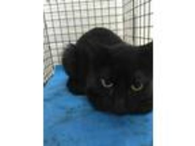 Adopt 41771817 a All Black Domestic Shorthair / Domestic Shorthair / Mixed cat