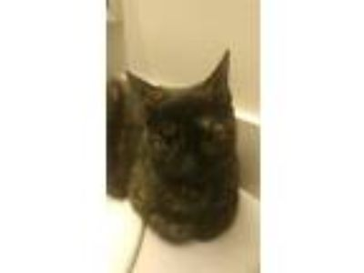 Adopt Fifi a Tortoiseshell Domestic Shorthair (short coat) cat in Cincinnati