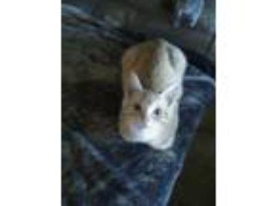 Adopt Morris a Orange or Red American Shorthair / Mixed cat in Hartsville