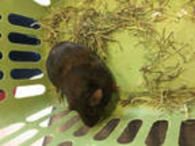 Adopt MEADOW a Brown or Chocolate Guinea Pig / Mixed small animal in Plano
