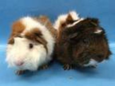 Adopt S'mores a Brown or Chocolate Guinea Pig / Mixed small animal in Woodbury