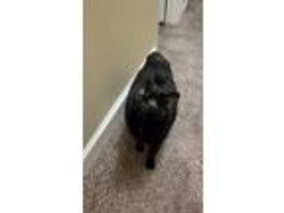 Adopt Missy a All Black Manx / Mixed cat in Kansas City, MO (24280415)