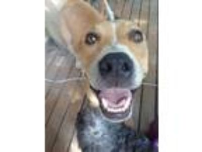 Adopt Millwood a Labrador Retriever / Pit Bull Terrier / Mixed dog in Little