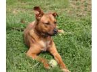 Adopt Fitz a Red/Golden/Orange/Chestnut - with White Pit Bull Terrier / Labrador