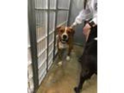 Adopt Big Daddy and Buddy a Boxer