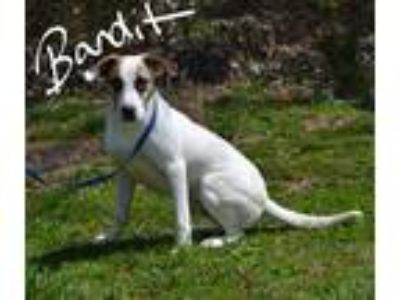 Adopt Bandit a White - with Red, Golden, Orange or Chestnut Terrier (Unknown