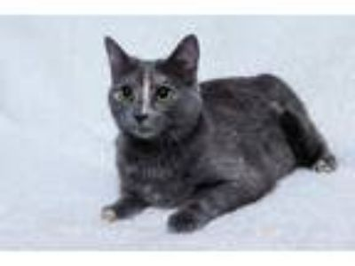 Adopt Kahlua a Tortoiseshell Domestic Shorthair (short coat) cat in White