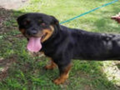 Adopt SAMANTHA a Black Rottweiler / Mixed dog in Plano, TX (25884695)