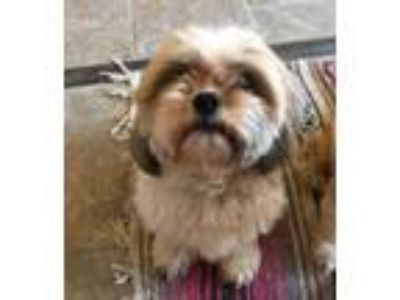 Adopt Clyde (bonded with Bonnie) a Brown/Chocolate Shih Tzu / Cavalier King