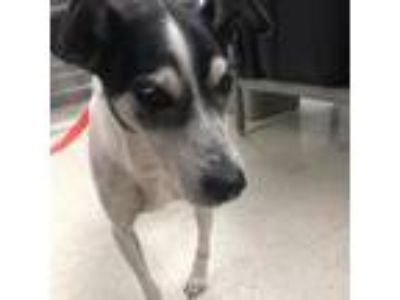 Adopt Jake a Jack Russell Terrier