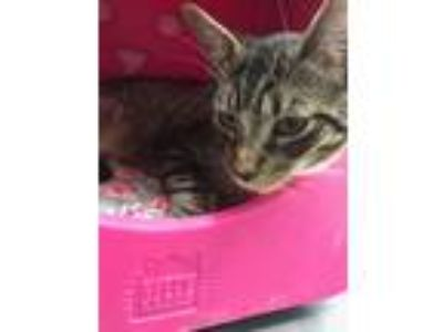 Adopt Sonny a Brown Tabby Domestic Shorthair (short coat) cat in Monroe
