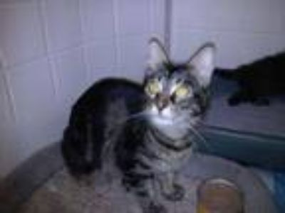 Adopt Sweet Pea a Brown Tabby Domestic Mediumhair (medium coat) cat in