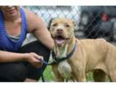 Adopt Lexi a Brown/Chocolate American Pit Bull Terrier / Mixed dog in
