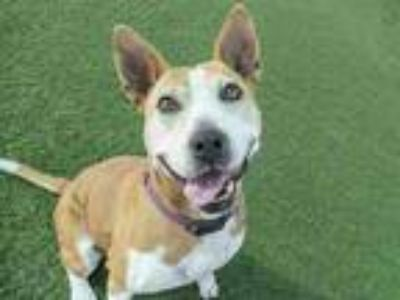 Adopt Cherry a Brown/Chocolate - with White Bull Terrier / Mixed dog in Agoura
