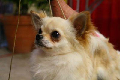 Chihuahua, Longcoat Male, Juvinile