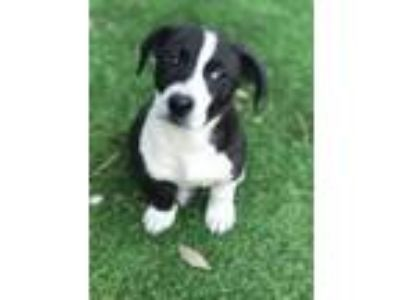 Adopt Chick Pea a White - with Black Basset Hound / Labrador Retriever / Mixed
