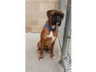 Adopt Benny a Tan/Yellow/Fawn Boxer / Mixed dog in Lancaster, PA (25585565)