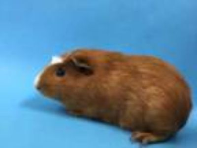 Adopt Rocket a Brown or Chocolate Guinea Pig / Mixed small animal in St.