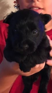 registered scottish terrier pups
