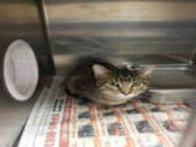 Adopt MONSTER a Brown Tabby Domestic Shorthair / Mixed (short coat) cat in