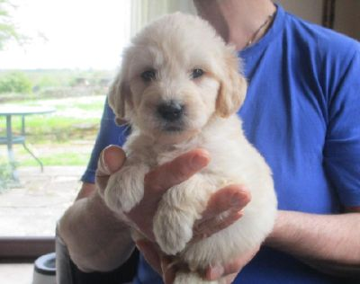 Healthy Golden Retriever Puppies