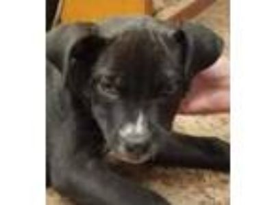Adopt Milo a Black American Pit Bull Terrier / Mixed dog in Robinson