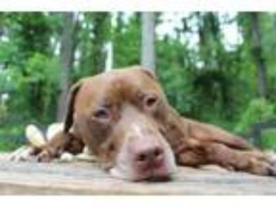 Adopt Tank a Brown/Chocolate - with White Pit Bull Terrier / Mixed dog in